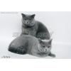Британские  голубые котята (Москва)