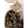 Британские котята мраморные черепашки из питомника VIVIAN.