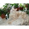 Короткошерстный котик - юниор Курильский бобтейл