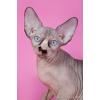Сфинксы - магические кошки.