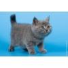 Британские котята (коты) голубого и лилового окраса