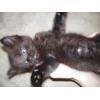 Котик голубоглазный шатен