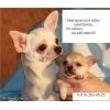 Удаление мелким собачкам молочных зубов без наркоза!