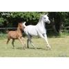 Продаю арабских лошадей